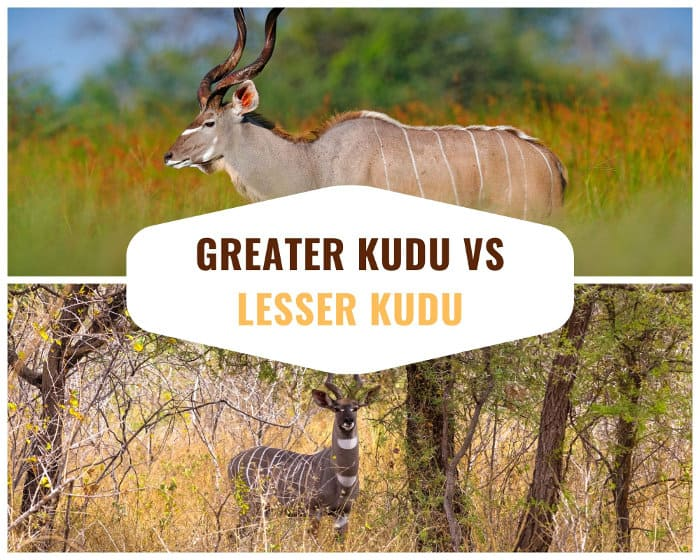 Difference between a greater kudu and a lesser kudu