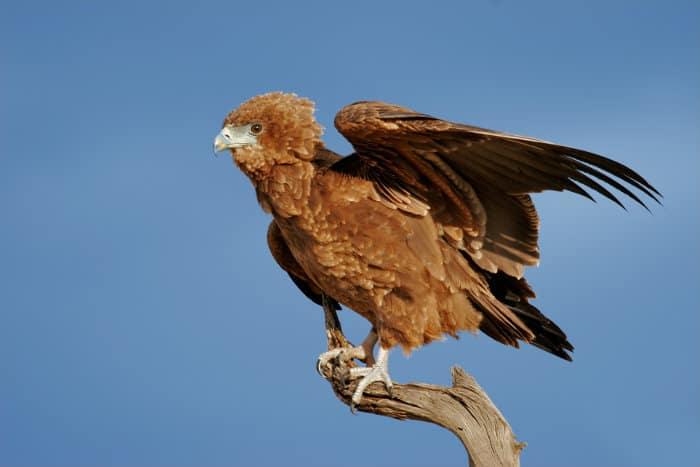 Immature bateleur on a branch, Kalahari desert