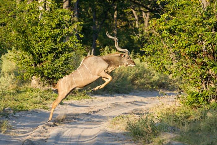 Greater kudu bull jumping across a sandy road, Etosha National Park