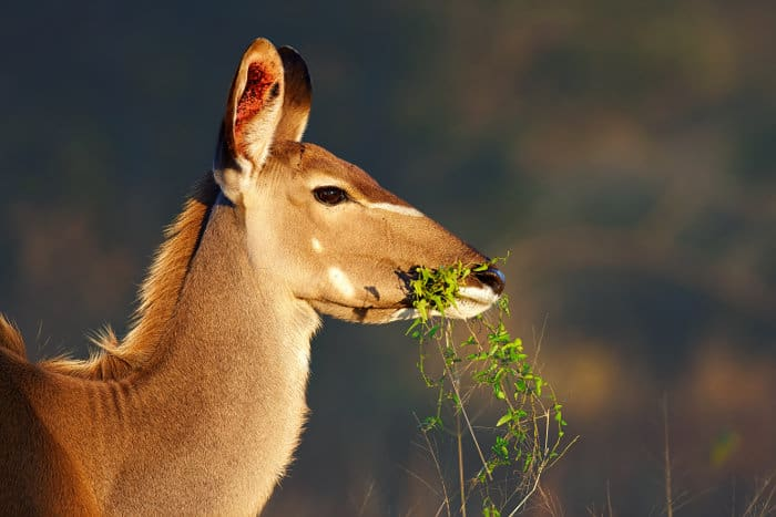 Female greater kudu portrait, eating green foliage