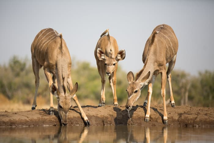 Two greater kudu cows and a calf drink from a local waterhole in Botswana