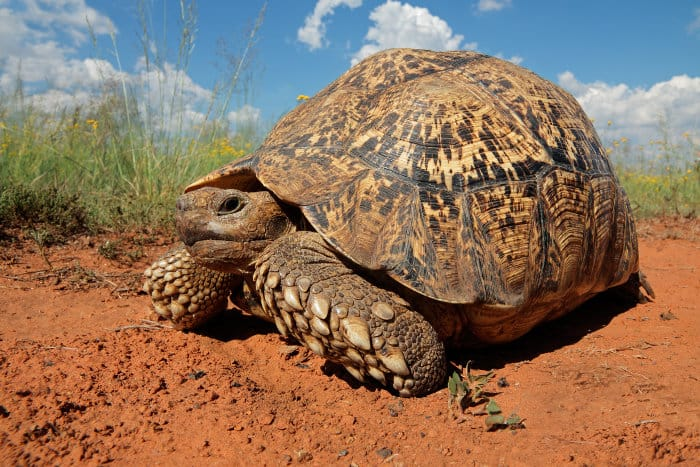 Large leopard tortoise (Stigmochelys pardalis) photographed at ground level