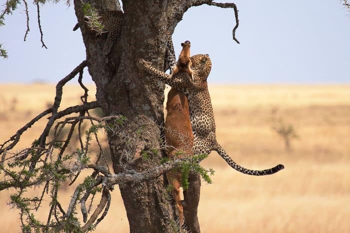 Leopard dragging its kill up a tree