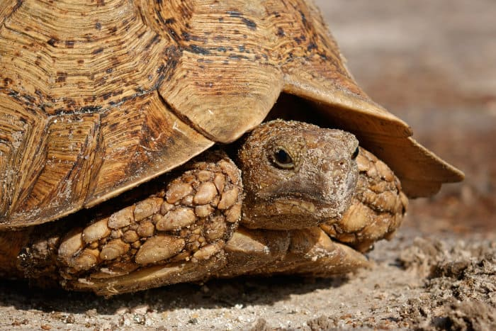Leopard tortoise close-up head shot, retracted into its shell