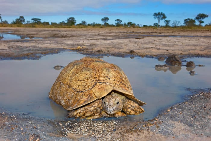 Leopard tortoise at a local waterhole in South Africa
