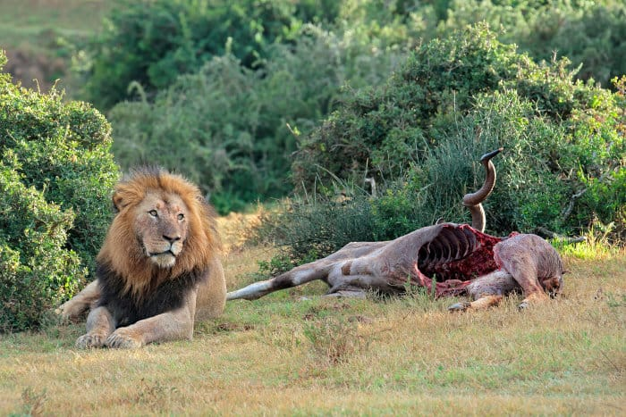 Big male lion sitting next to a kudu carcass