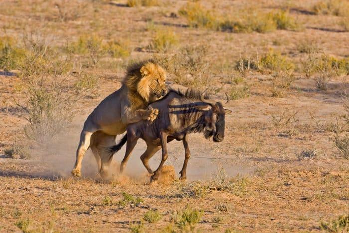 Big male lion hunts down a blue wildebeest in the Kalahari desert