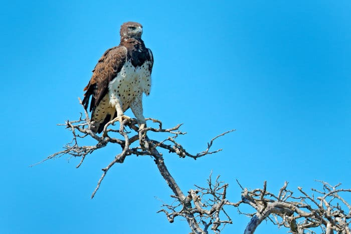 The martial eagle is one of Africa's most successful birds of prey