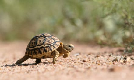 How big do leopard tortoises get?