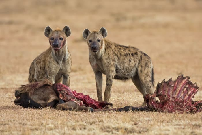 Spotted hyena with their kill on the African savanna