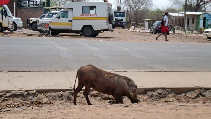 Warthog grazing on the side of the road in Kasane, Botswana