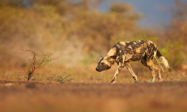 What African predator animals have the highest hunting success rate?