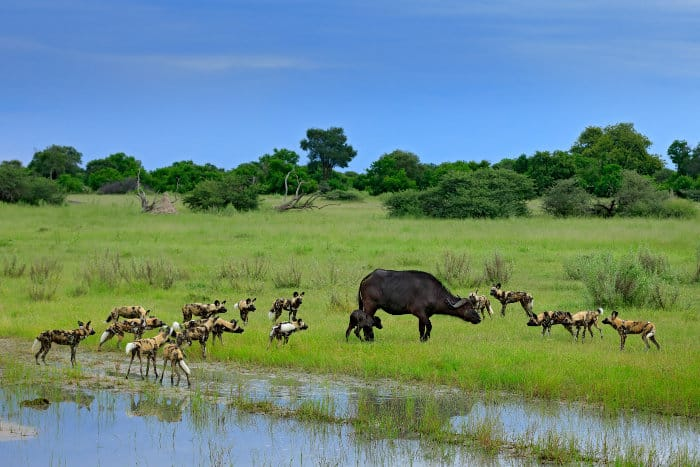 Buffalo cow and calf surrounded by a hungry pack of African wild dogs