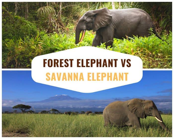 African forest elephant vs African savanna elephant