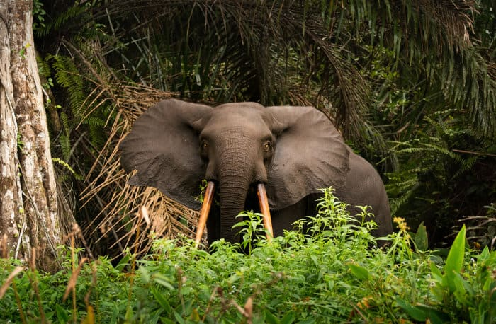 African forest elephant in Loango National Park