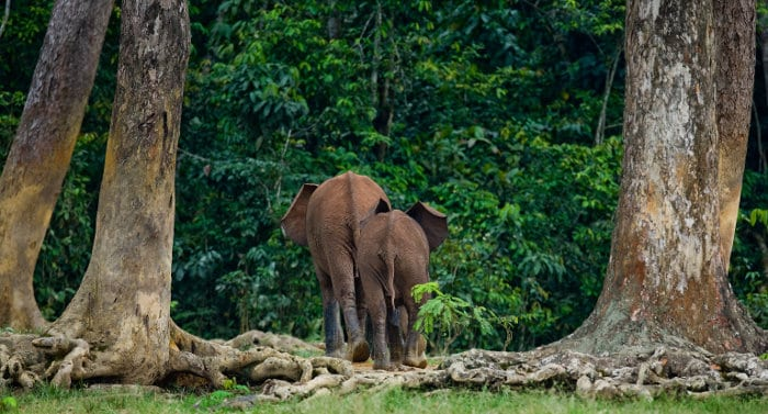 African forest elephants return to the jungle, revealing their bum