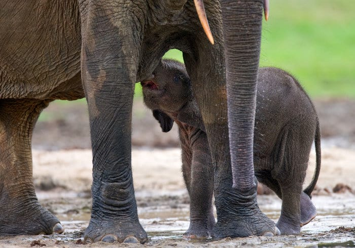 Baby African forest elephant suckling from his mother