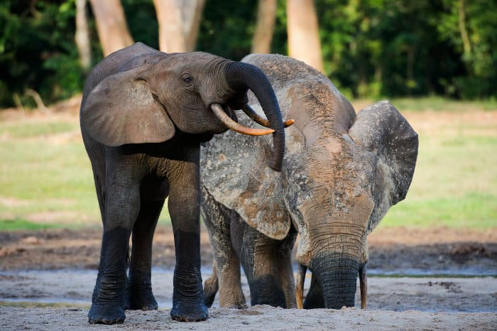 African forest elephants digging for water