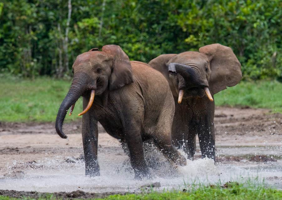Best places to see the African forest elephant