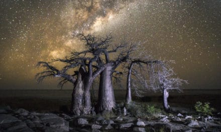 Upside down tree (Baobab)