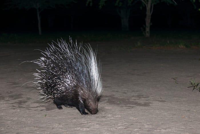 Cape porcupine in the Kalahari, Botswana