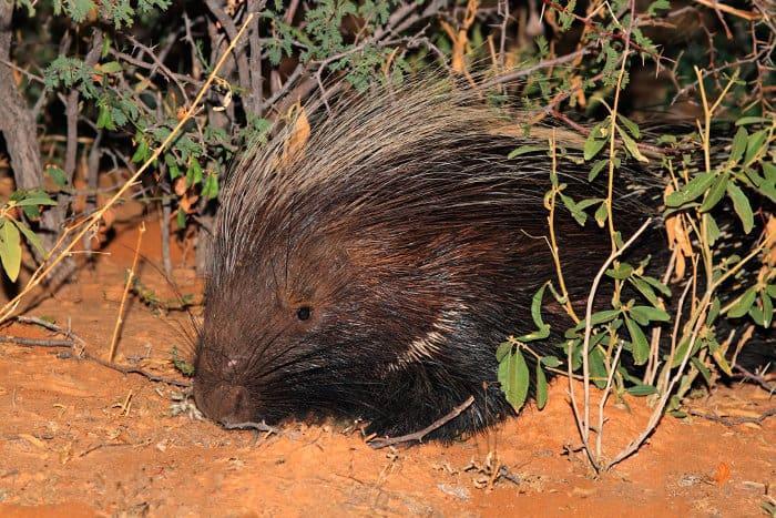Portrait of a Cape porcupine hiding in the bushes