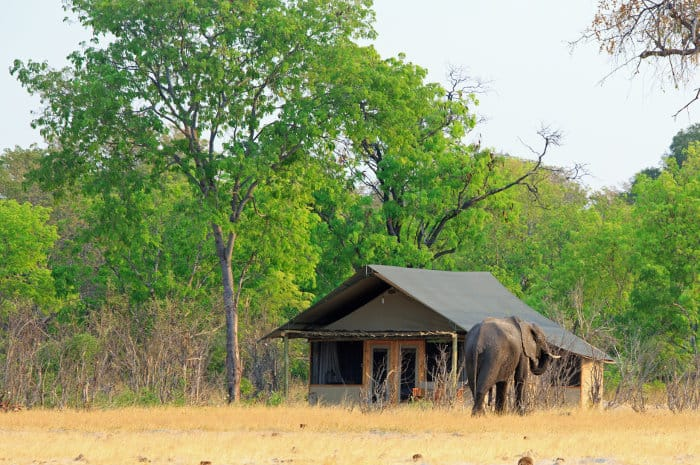 Lone elephant by a traditional-style tent, Little Makalolo camp, Hwange