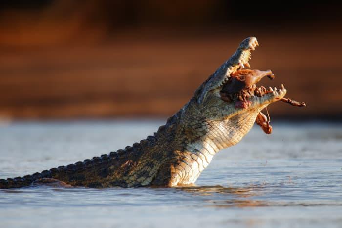 Nile crocodile swallows a large impala meat chunk