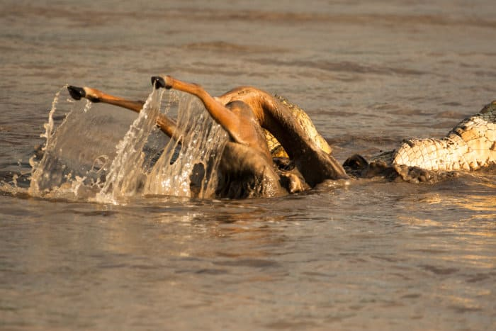 Nile crocodiles twist and turn in the water to bite off chunks of a dead impala