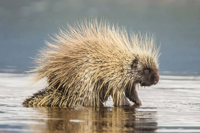 North American porcupine in water, Yukon, Canada