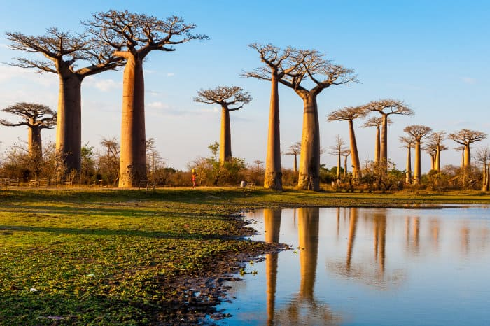 Baobab reflection, near Morondava, Madagascar