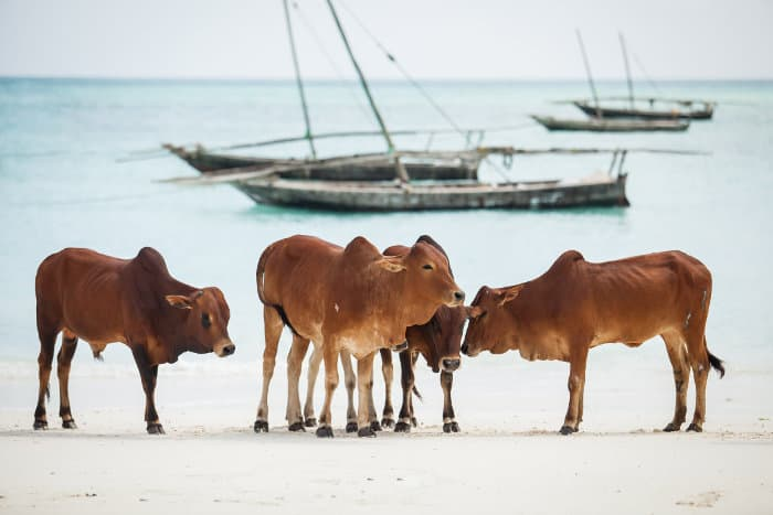 Group of cows on the beach, with Dhows in the background, Zanzibar