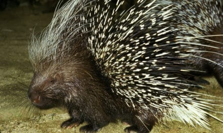 10 fascinating porcupine facts – Get familiar without getting pricked