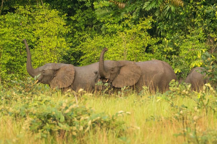 Forest elephants in Conkouati-Douli National Park