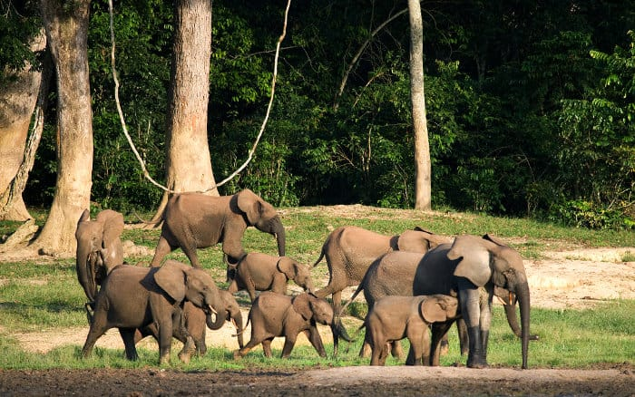 Herd of African forest elephants in their natural habitat, Dzanga-Sangha Special Reserve