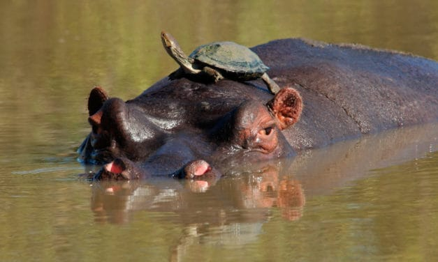 What does a hippo sound like? Hippo sounds explained