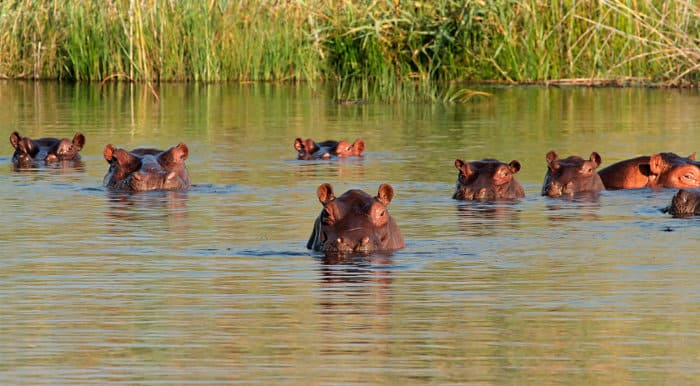 Pod of hippos in water, southern Africa
