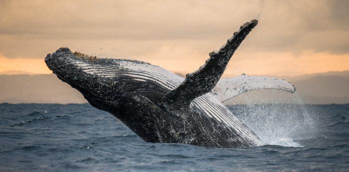 Humpback whale breaching off the coast of St. Mary's Island, Madagascar