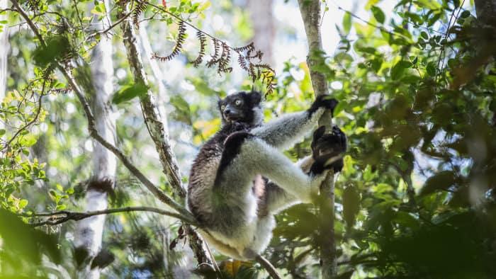 Indri lemur in its natural habitat, Madagascar