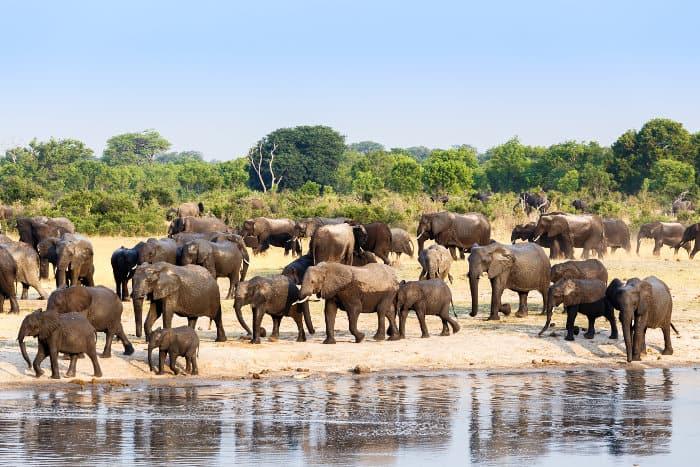 A very large elephant herd departs from a local waterhole in Hwange, Zimbabwe