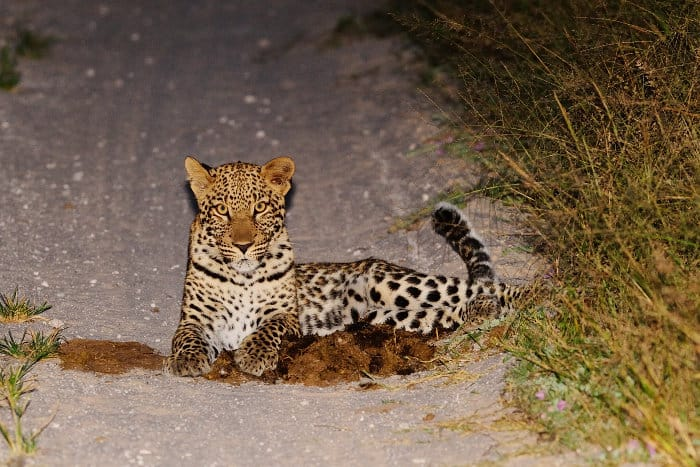 Leopard at night, lying on the road, Hwange
