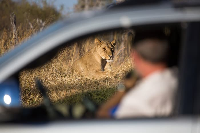 Out-of-focus tourist watching a lioness from the safety of his car, Hwange
