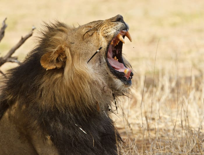 Yawning male lion with porcupine quills stuck in its body