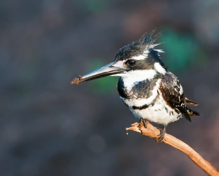 Male pied kingfisher with its distinguishable two black bands across the chest