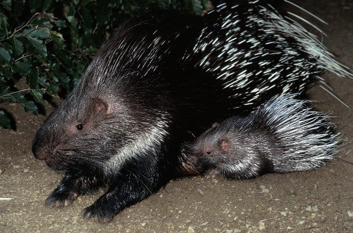 Female crested porcupine with her young