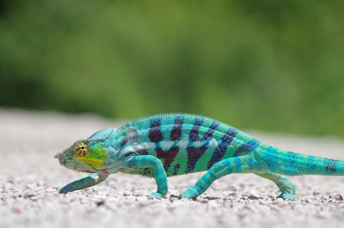 Panther chameleon in Nosy Be, Madagascar
