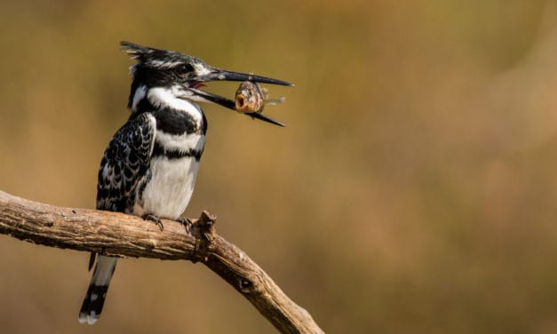 Pied Kingfisher – 10 facts about the remarkable bird
