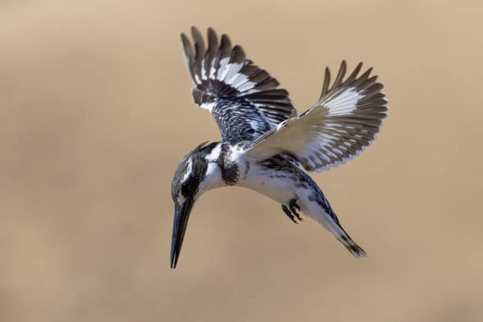 Pied kingfisher hovering above a small pond, hunting for its next meal
