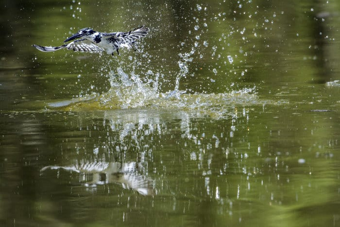 Pied kingfisher splashes out of the water, hunting for its next meal