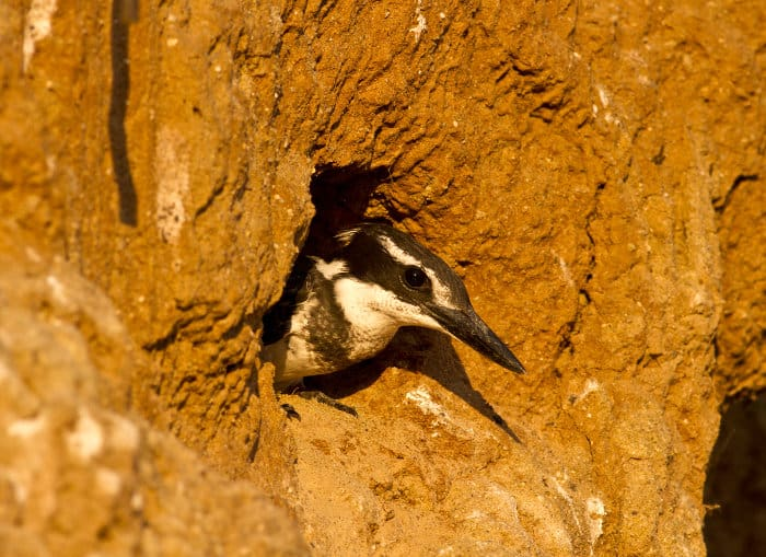 Female pied kingfisher emerges out of her nest. Pied kingfishers make their nests close to water, digging out holes in vertical mud banks